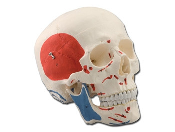 Mulaj craniu uman – 3 parti – muscular
