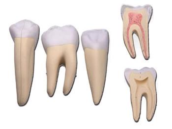 Mulaj 3 dinti (incisiv, canin şi molar)
