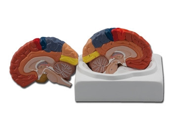 Mulaj creier