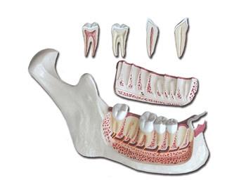 Mulaj maxilar inferior