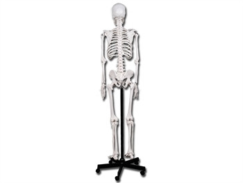 Mulaj schelet uman- 180 cm