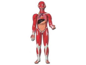 Mulaj corp uman muscular