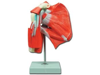 Mulaj musculatura umar
