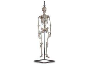 Mulaj schelet uman -80 cm