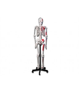 Mulaj schelet uman muscular-180 cm