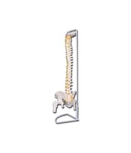 Mulaj coloana vertebrala flexibila- cu cap femural VALUE