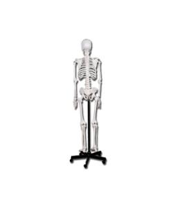 Mulaj schelet uman 180 cm