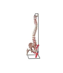 Mulaj coloana vertebrala flexibila cu cap femural si muschi