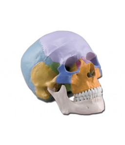 Mulaj craniu uman – 3 parti – colorat
