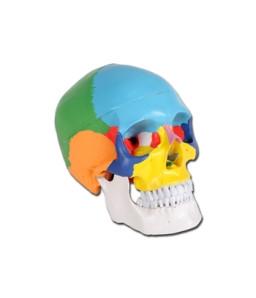 Mulaj craniu uman VALUE– colorat