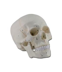 Mulaj craniu uman – 3 parti – numerotat