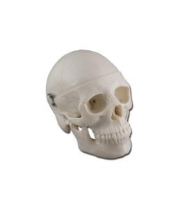 Mulaj mini craniu uman
