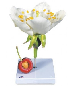 Mulaj floare de cires