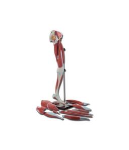 Mulaj musculatura membru inferior