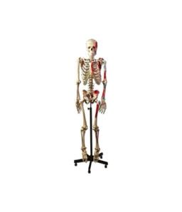Mulaj schelet uman muscular