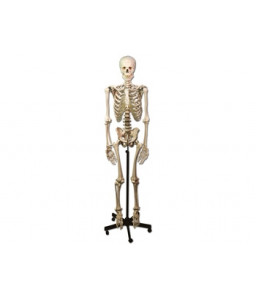 Mulaj schelet uman